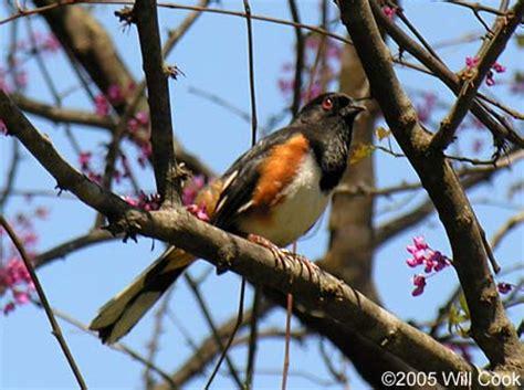 backyard birds of north carolina eastern towhee pipilo erythrophthalmus