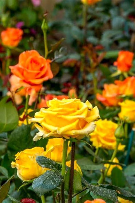 fiori riccione i fiori mare colorano riccione e la 232 la rosa
