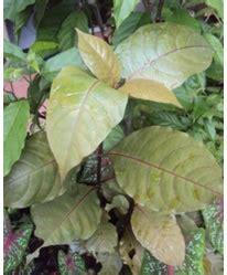 Bibit Tanaman Herbal Brotowali tanaman herbal floraherbanusantara