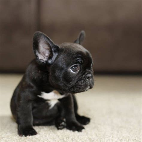 frenchie puppy 17 best ideas about bulldog puppies on bulldogs