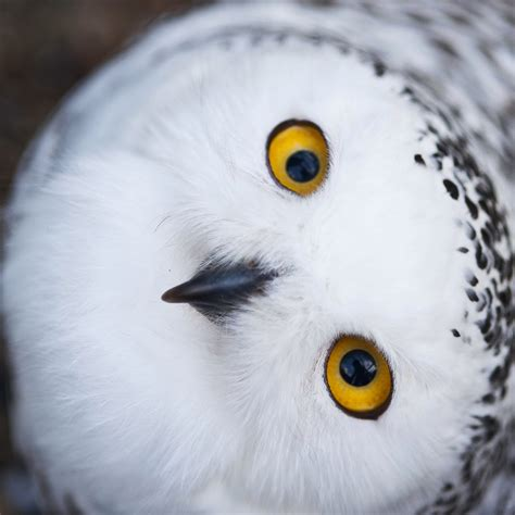 snowy owls make one of largest observed migrations to