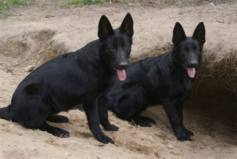 black german shepard puppy solid black german shepherd puppies for sale http solidblackgermanshepherds