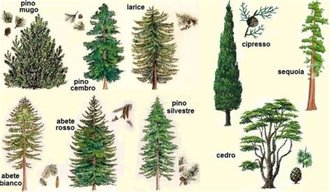 abeti da giardino pinus pinea alberi conifere pinus pinea giardino