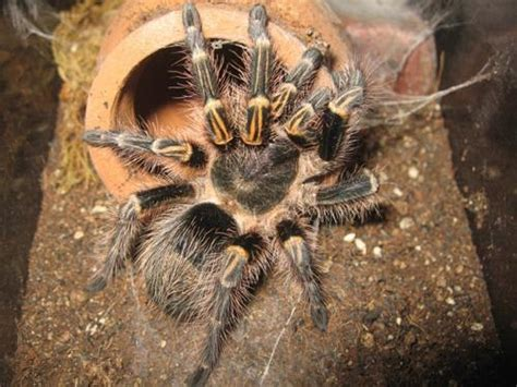 Tarantula Set terrestrial tarantula set up caresheet chaco golden