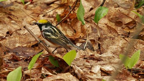 Auto D Rkop by Flickr The Warblers Of America Pool