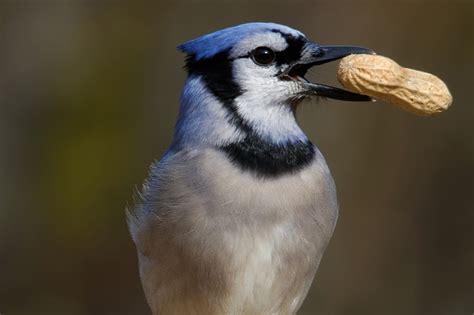 nut bird ayce