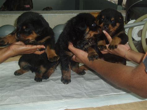 puppy rottweiler for adoption malaysian chion rottweiler puppies for sale adoption from melaka melaka city