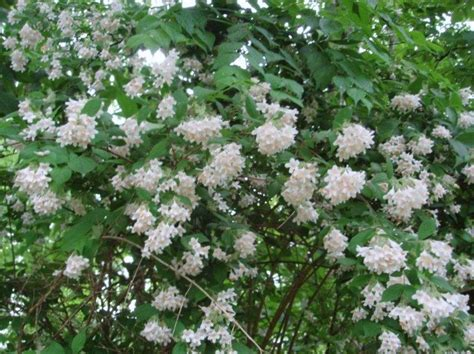 common flowering shrubs beautybush a common name for large growing deciduous shrub