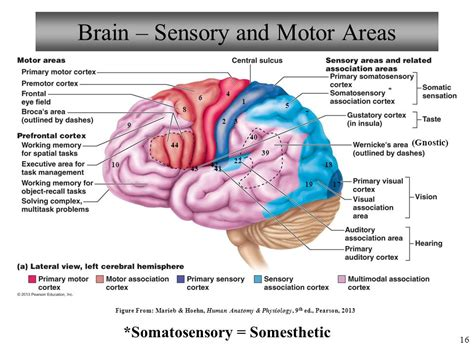 sensory and motor areas of the brain anatomy and physiology the central nervous system ppt