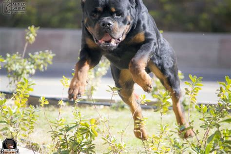 rottweiler stories rottweiler secrets you don t about rottweiler