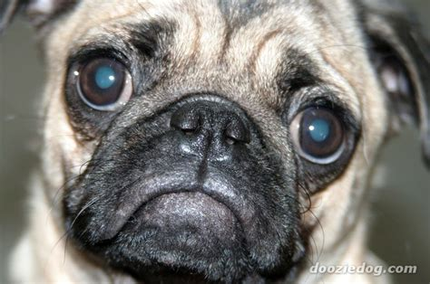 all about pug all about pug breeds picture