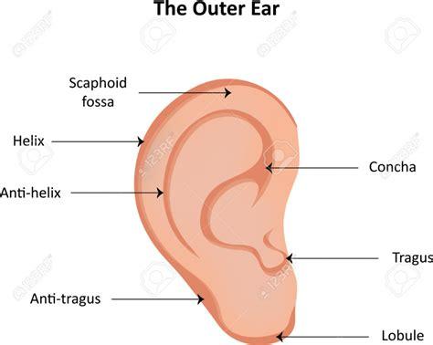 anatomy of the outer ear diagram anatomy of ear lobe human anatomy diagram