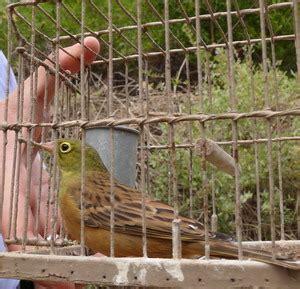 gabbia trappola per uccelli gabbie trappola per ortolani komitee gegen den vogelmord