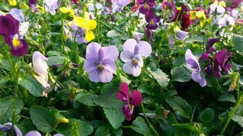 viole in vaso vendita piantine di viole pendule colori assortiti in