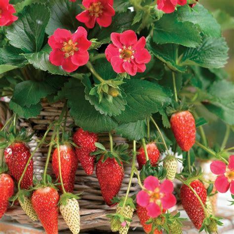 piante di fragole in vaso fragole ricanti piante da giardino