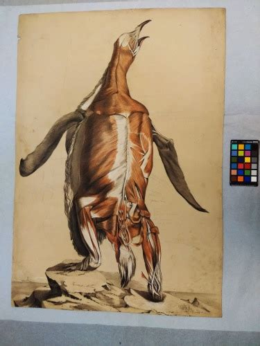flayed penguin anatomical drawings  william henry fisk