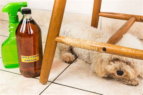 chewing paws remedy best 25 stop chewing ideas on stop from barking chewing paws
