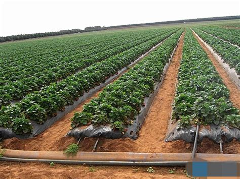 corn maize mulch drip irrigation system buy irrigation system drip irrigation system corn