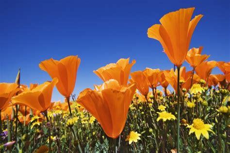 imagenes de flores silvestres chilenas amapolas naranjas y flores silvestres amarillas 20176