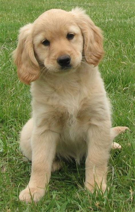 cocker spaniel cross golden retriever puppies 20 best mini golden retrievers images on golden retrievers mini golden
