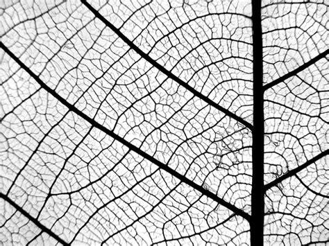Pattern Leaf Veins | leaf veins as the driving factor in angiosperm evolution