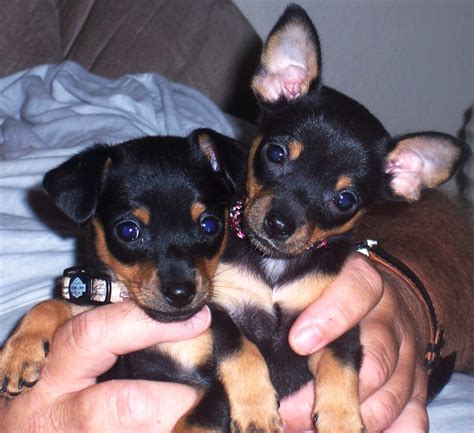 chihuahua min pin puppies chipin miniature pinscher chihuahua mix info pictures puppies characteristics