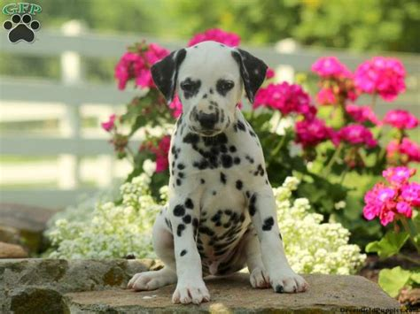 dalmatian puppies for sale in ky best 25 dalmatian puppies for sale ideas on puggle puppies for sale