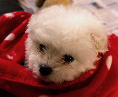 pomeranian x maltese puppies pomeranian x maltese puppies pomeranian in vic for sale breeds picture