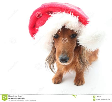 santa hats for dogs sweet wearing santa hat for stock image