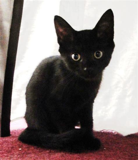 baby black cat   BLACK CATS   Pinterest