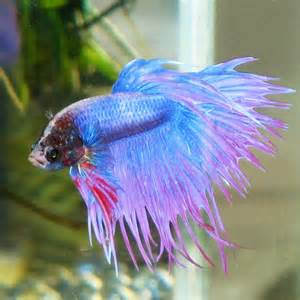 betta fish colors how to care for a betta fish blogging