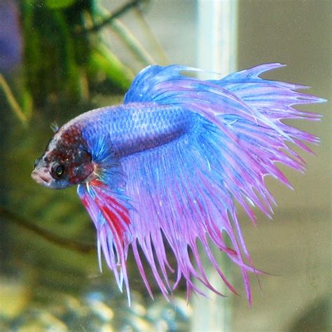 betta fish losing color how to care for a betta fish blogging