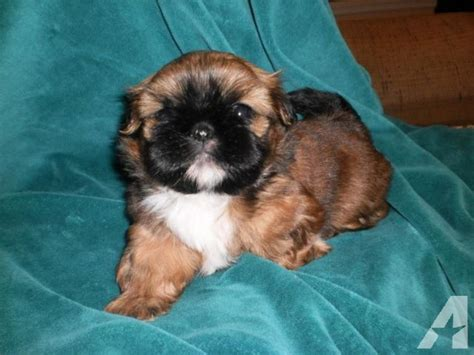 5 week puppy care shih tzu puppy black picture breeds picture