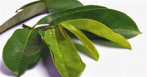 kandungan manfaat buah sirsak  daun sirsak  kesehatan