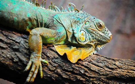 imagenes de iguanas blancas iguana informaci 243 n y caracter 237 sticas