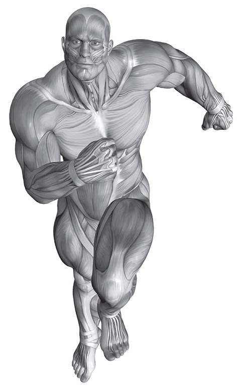 tavola anatomica muscoli pin tavola anatomica on
