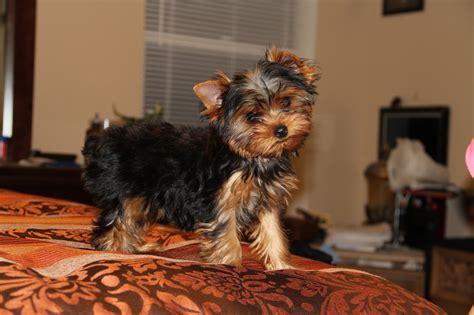3 month yorkie past puppies yorkies by design llc