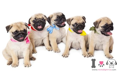 perros pug precio pug razas de perros