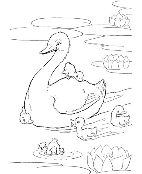 duck swimming coloring page free coloring pages of duckling