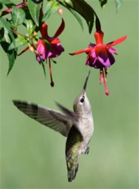 attracting hummingbirds thriftyfun