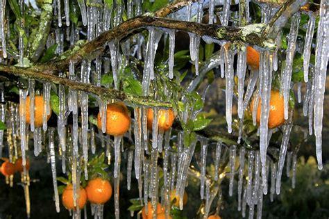 weather in orange florida orange juice futures soar as weather turns cold wsj