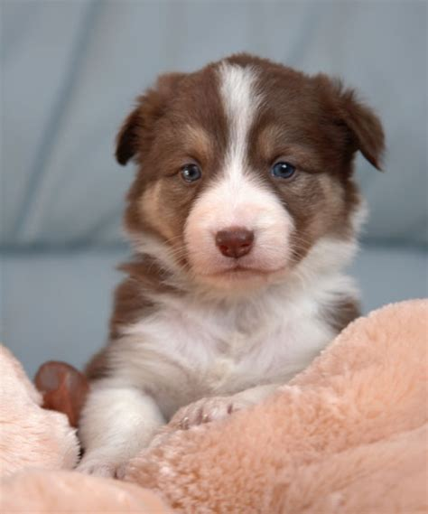 best food for border collie puppy border collie puppies favething