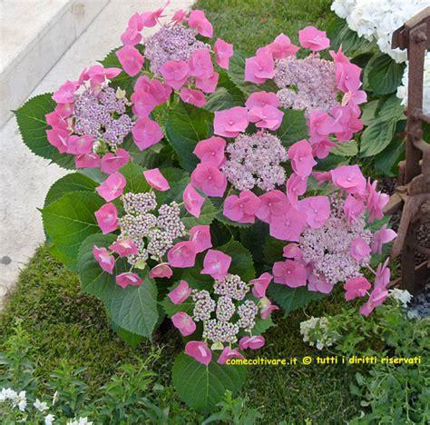 ortensia in vaso cura talee ortensie periodo moltiplicazione per talea idee green