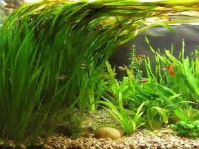 Plant Pots For Sale by Vallisneria Caresheet Aquatic Mag