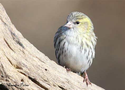 siskin bird photos by sandra palme