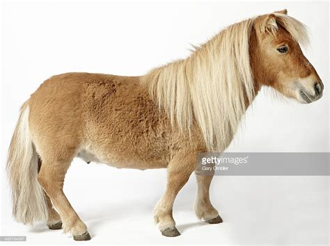 Pony Pictures shetland pony stock photo getty images