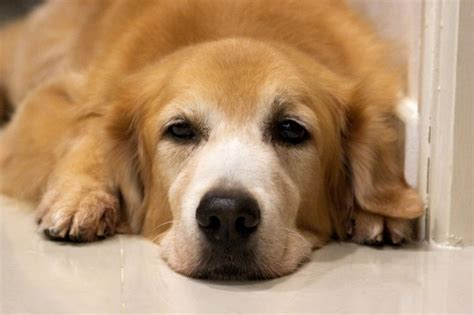 sick golden retriever what s on the other side allworship