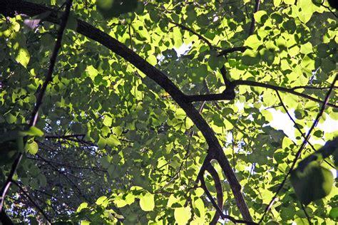 elm tree foliage photo hubert steed photos at pbase com