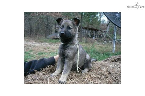 silver german shepherd puppies for sale silver german shepherd puppies for sale