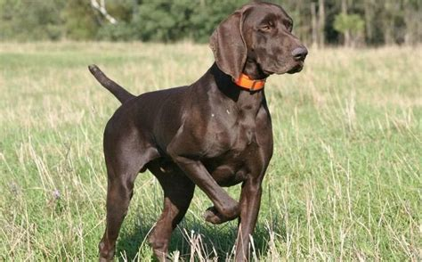 pointer breeds german shorthaired pointer this always gets the point